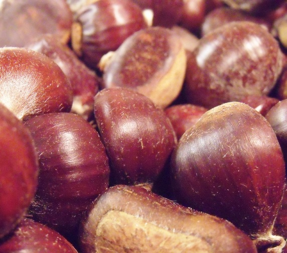 châtaignes fraîches ramassées en vue d'une recette de crème de marrons